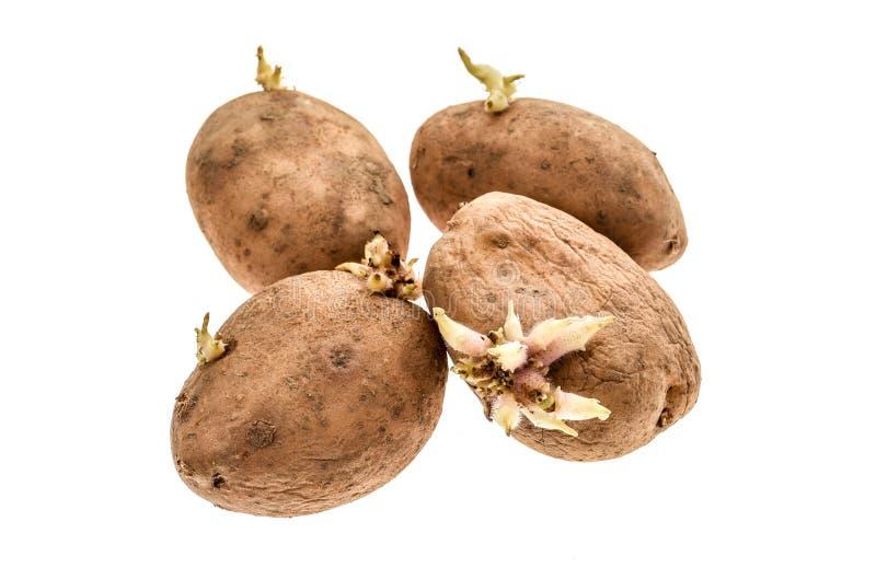 Patate organiche con le radici dei germogli isolate su un backgrou bianco immagine stock