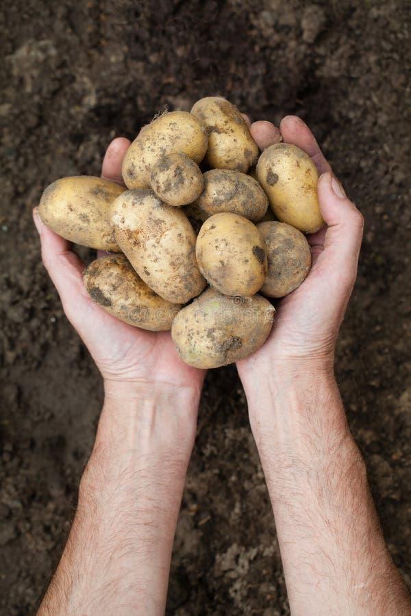 Patate rosse fresche perfette Due mani tenendo le patate sul fondo del suolo fotografia stock libera da diritti