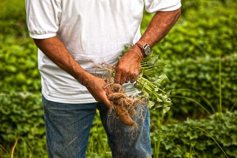Patates douces organiques images libres de droits