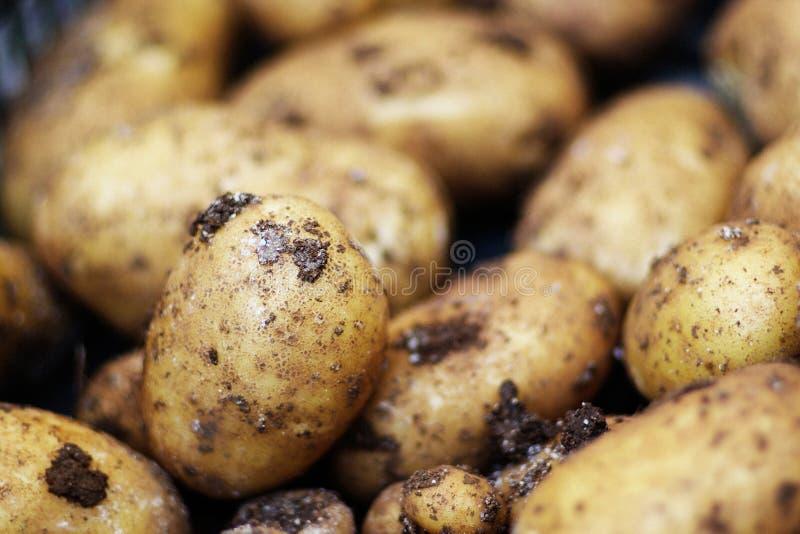 Patatoes photos stock