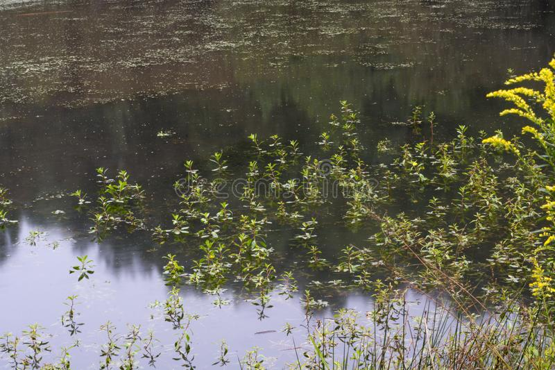Aquatic plants in pond with rain falling stock image