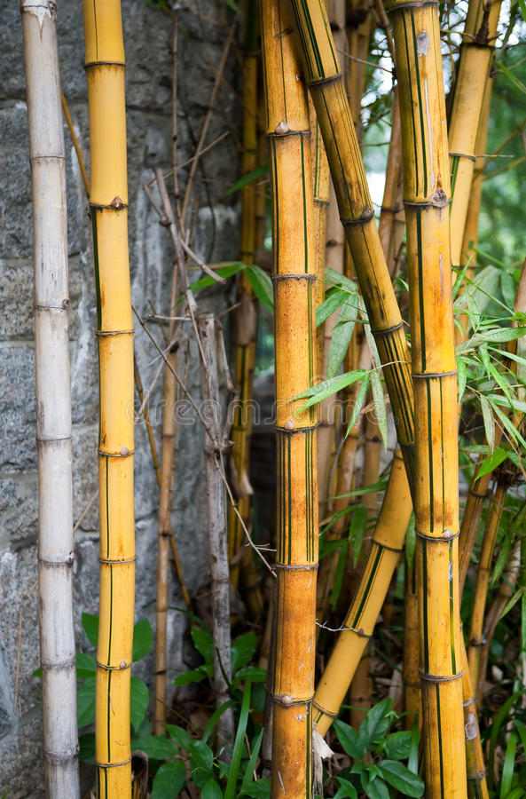 Download Patch of Bamboo Plants stock photo. Image of wall, growing - 10609750