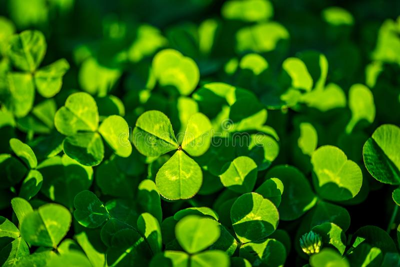 Clover Patch Background royalty free stock photos