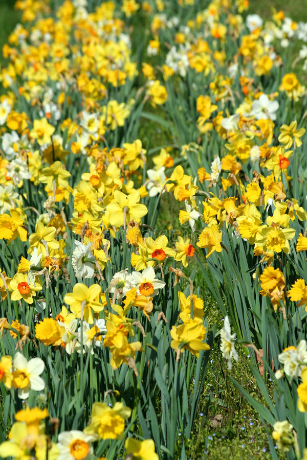 Download Patch of daffodils stock image. Image of flower, spring - 31271387
