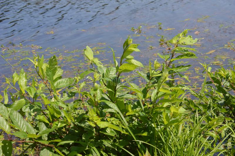 Patch of Green Plants Growing Along Edge of Water stock images