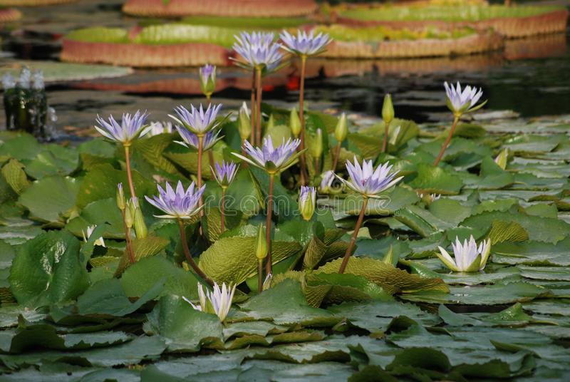 Patch of Lilac Water Lilies in Pond - Nmyhaea Nouchali. Patch of Lilac Water Lilies in Pond, moorish garden, aquatic flowers and plants, nymhaea nouchali royalty free stock photography