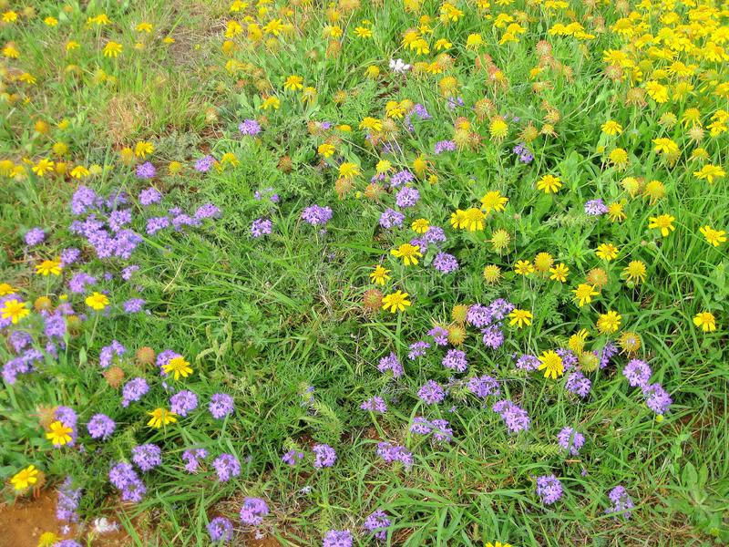 Patch of wildflowers. Purple Prarrie Verbena, Yellow Sneezeweed & Butterfly Gaura. Patch of wildflowers. Purple Prarrie Verbena, Yellow Sneezeweed Butterfly royalty free stock images