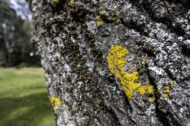 Patches of bright epiphytic yellow and white moss growing on the bark royalty free stock photos