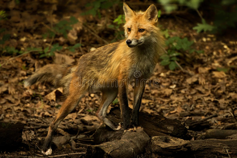 Patches Posed. Patches the red fox posing in the forrest stock photos