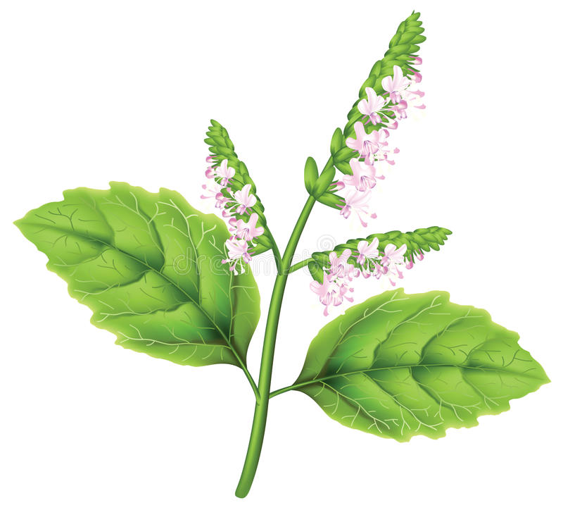 Free Patchoul (Pogostemon Cablini) Stock Photography - 21363282
