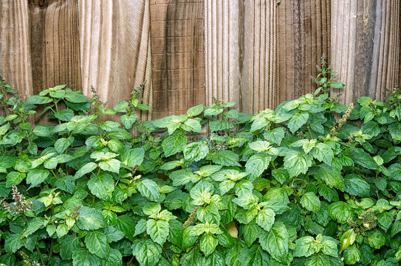Patchouli plant in front of brown fence royalty free stock image