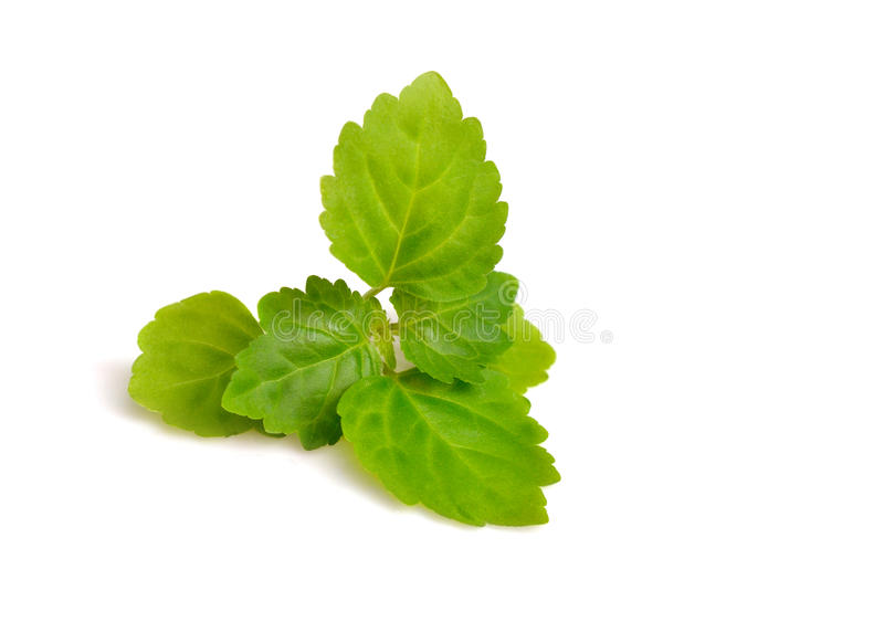 Patchouli sprig on the white background. Patchouli sprig. Isolated on white background royalty free stock images