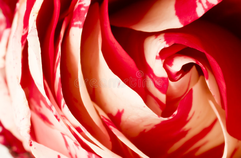 Patchy rose. Close up of a two colors rose royalty free stock images