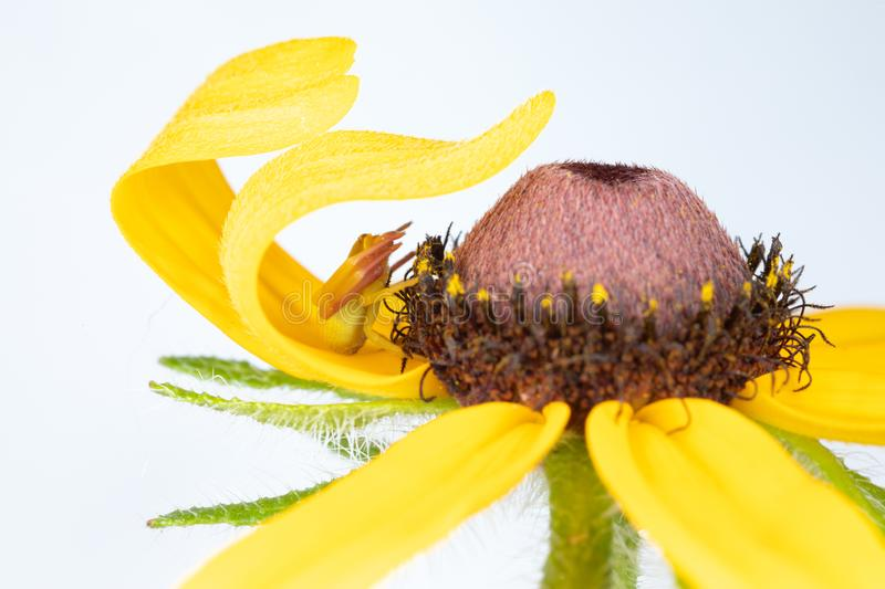 Crab Spider Waiting under a Yellow Flower Petal. Patcient little spider sitting under a flower petal waiting for a flying insect to come into its trap stock photo