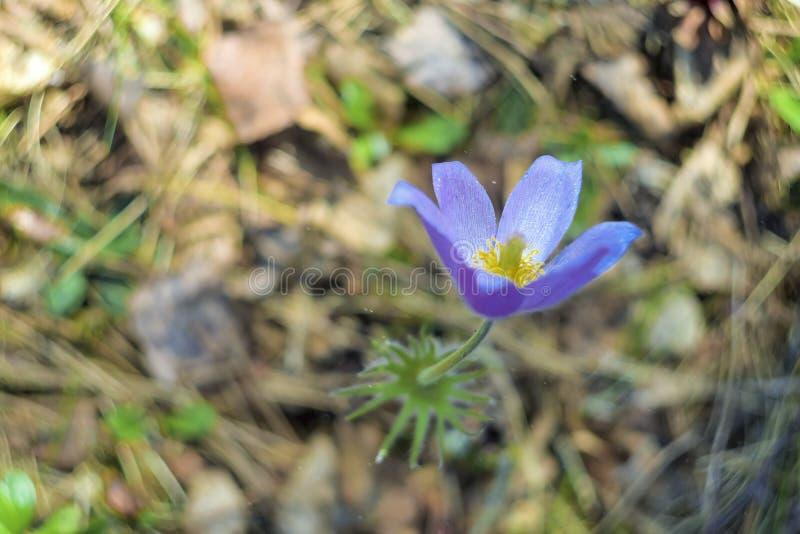 Patens de Pulsatilla ou crocus de prairie Haut étroit de fleurs violettes Pasqueflowers Belles fleurs de ressort sauvage image libre de droits