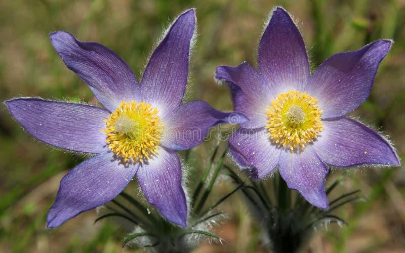 Patens de Pulsatilla (pasqueflower, fumée de prairie, crocus de prairie, et anémone orientaux de cutleaf) avec des fleurs photo libre de droits