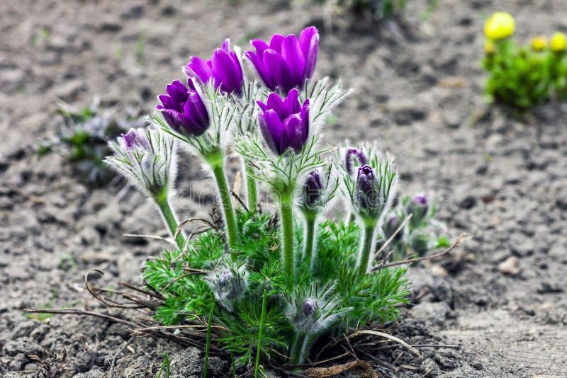 Patens porpora del Pulsatilla dei fiori che crescono nel giardino di primavera fotografie stock