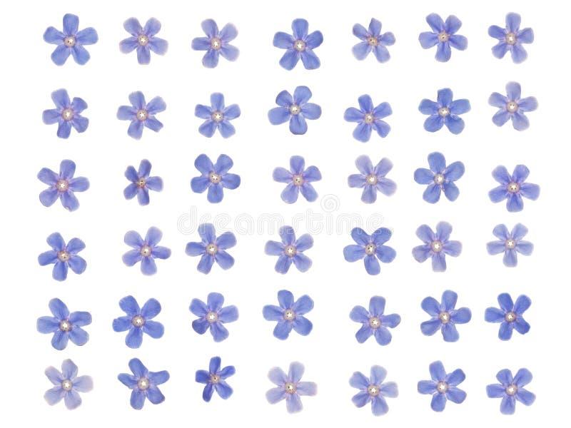 Patern del azul olvidar-yo fotografía de archivo libre de regalías