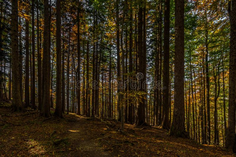 Path in autumn brown and yellow forest full on fallen leaves and with lightrays on the way royalty free stock images