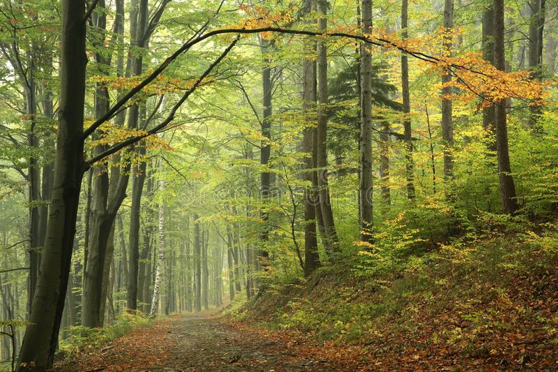 Trail through the misty autumn deciduous forest stock photo
