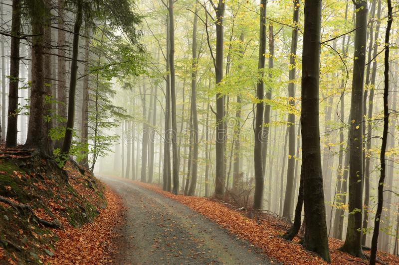 Trail through an autumn forest on a misty, rainy day royalty free stock images