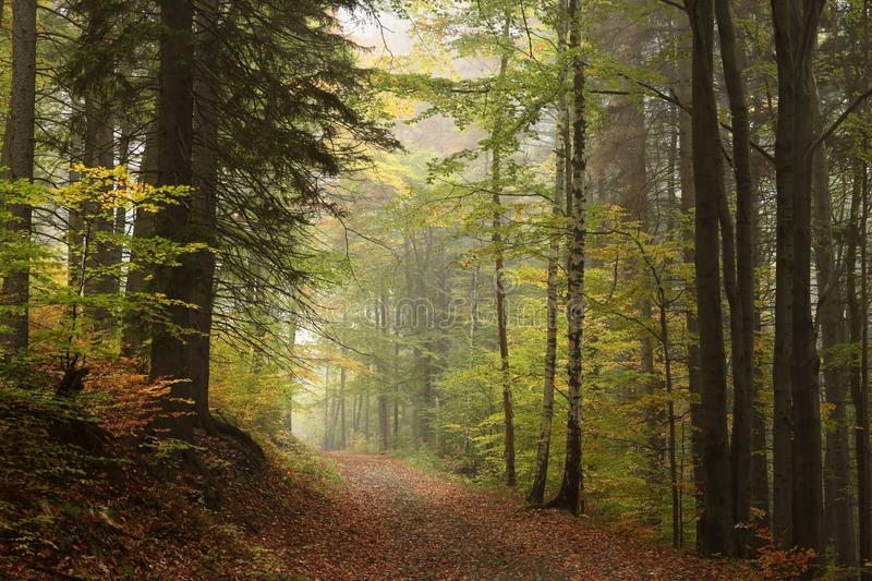 Trail through an autumn forest on a misty, rainy day royalty free stock image