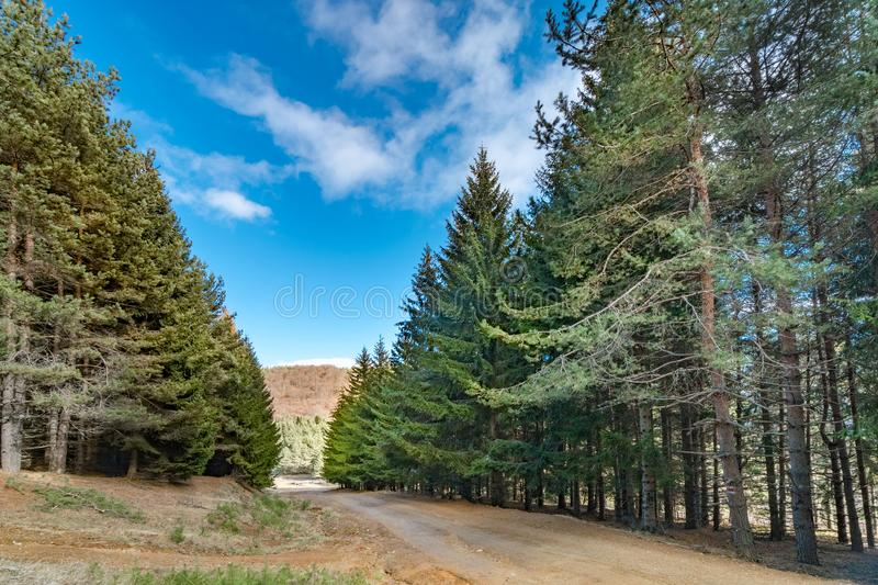 Path in the autumn forest among pine trees. The path in the autumn forest among pine trees royalty free stock photography