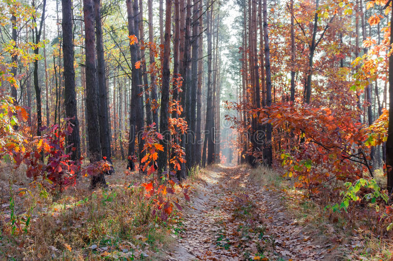 Path in the autumn forest. Path in a pine forest with young oaks, withered grass and fallen leaves in autumn day royalty free stock photos