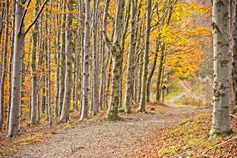 Path in autumn forest. Romantic path in autumn beech forest royalty free stock photos