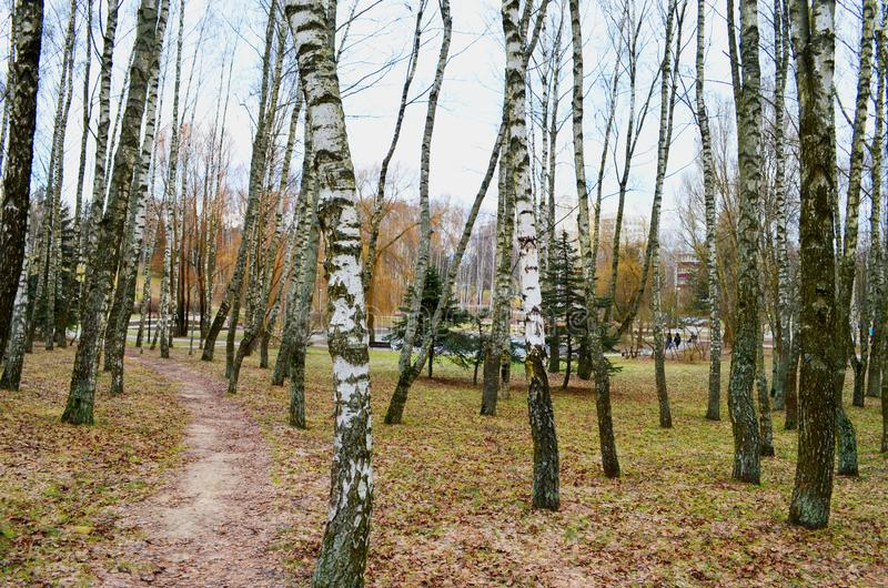 A path in an autumn park among birches stock images