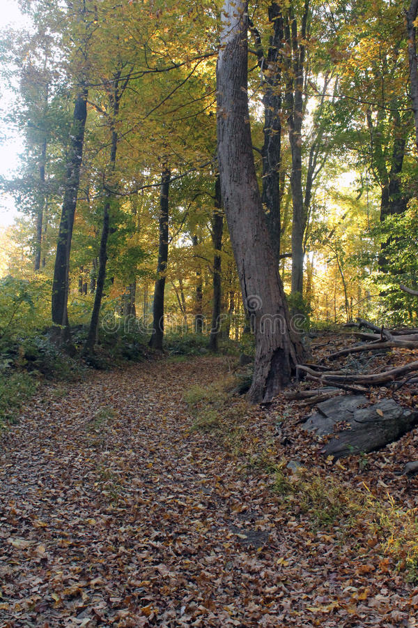 Path in Autumn Woods. Path through the sunny woods in autumn royalty free stock images