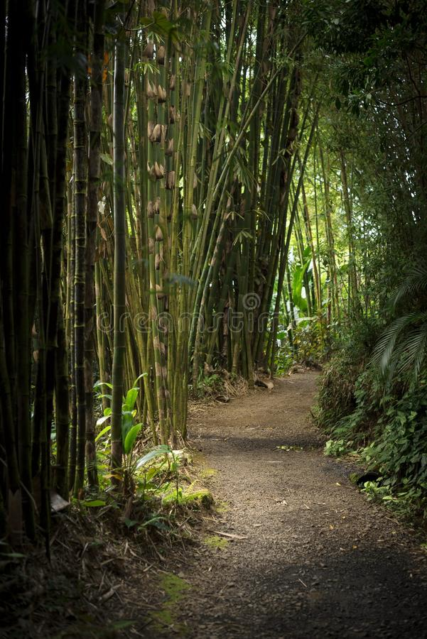 A path in a bamboo forest in Maui, Hawaii royalty free stock photography