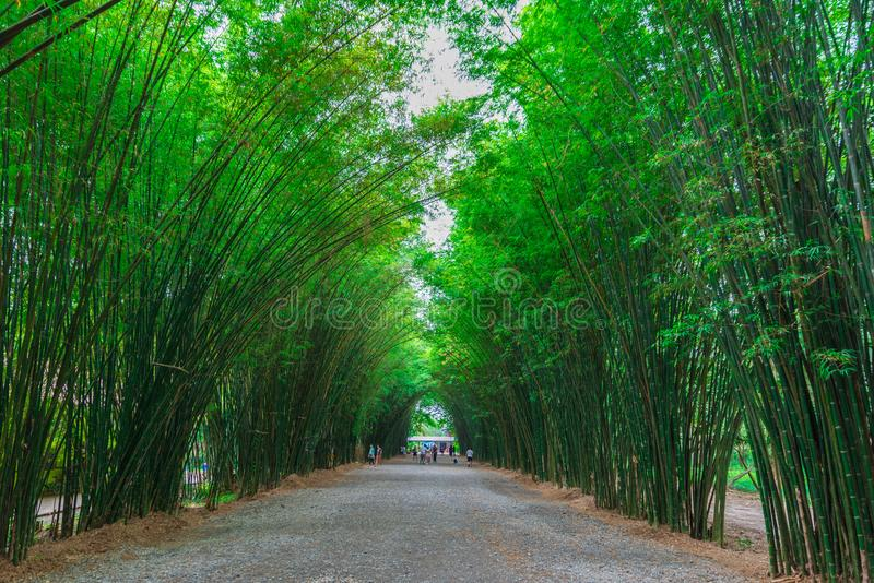Path through a bamboo forest. royalty free stock image