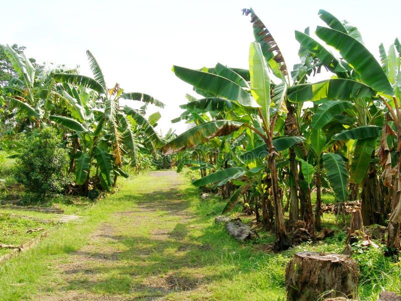 Path through banana plantation. A grassy green path leading through a sunny tropical banana plantation. Plantation is part of an organic farm business. Different royalty free stock image