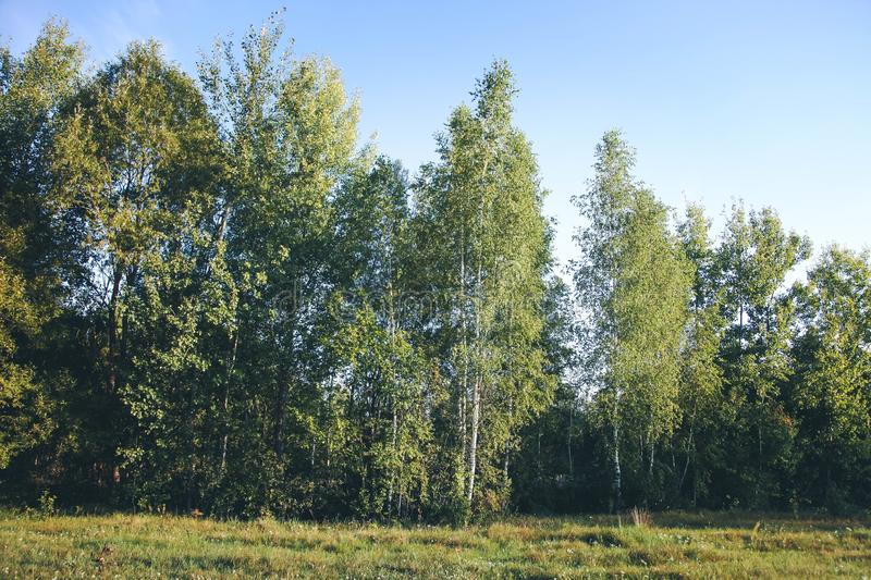 Path in beautiful birch grove stock images