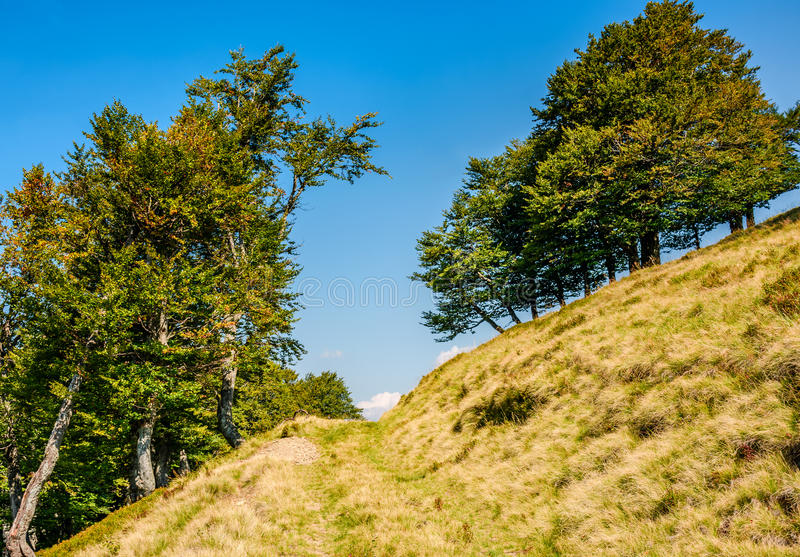 Path through beech forest on a grassy hillside royalty free stock photos