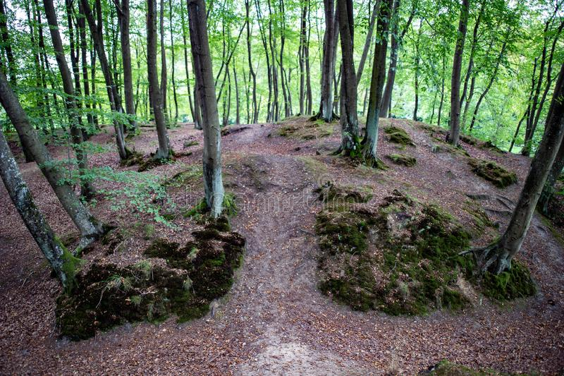 Path in a beech forest. Pedestrian route through the woods royalty free stock image