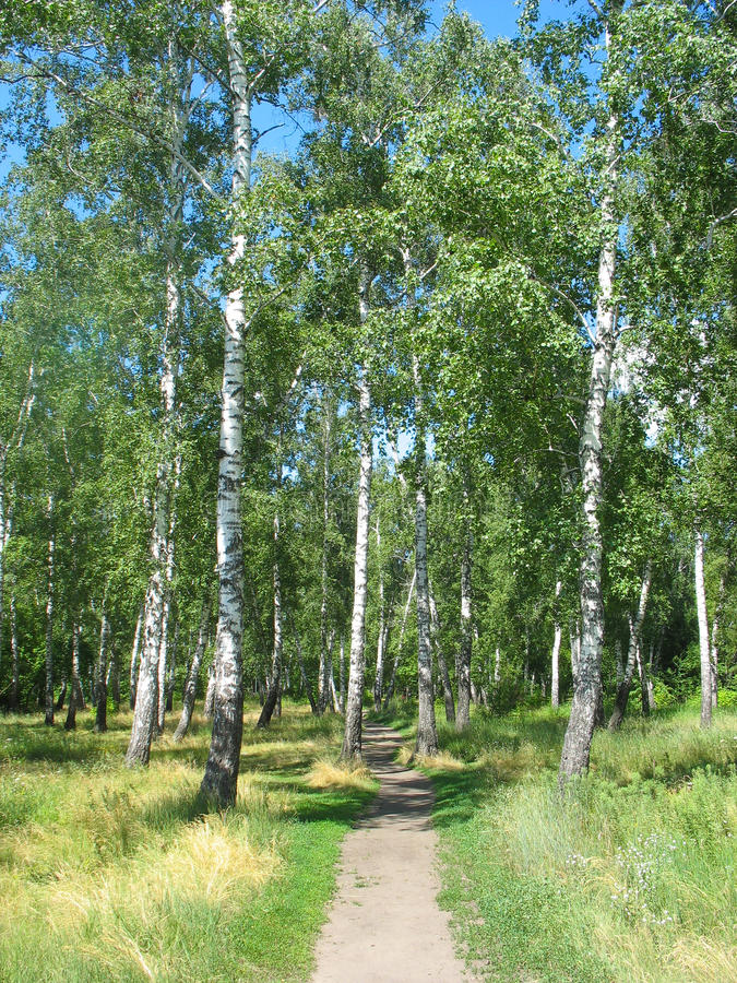 Path in a birch grove. Summer landscape. royalty free stock image