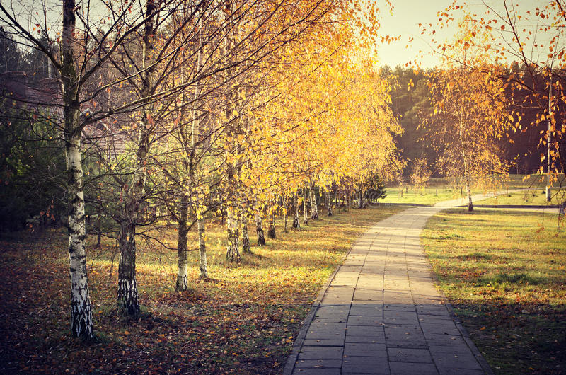 Path with birch trees in autumn royalty free stock images