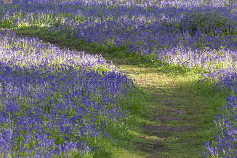 Path through bluebell woodland in spring. Norfolk woods and forest at sunrise royalty free stock image