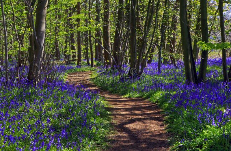 Path through Bluebell woods. Path with Sun light casting shadows through Bluebell woods, Badby Woods Northamptonshire, England. Hyacinthoides non-scripta stock photos