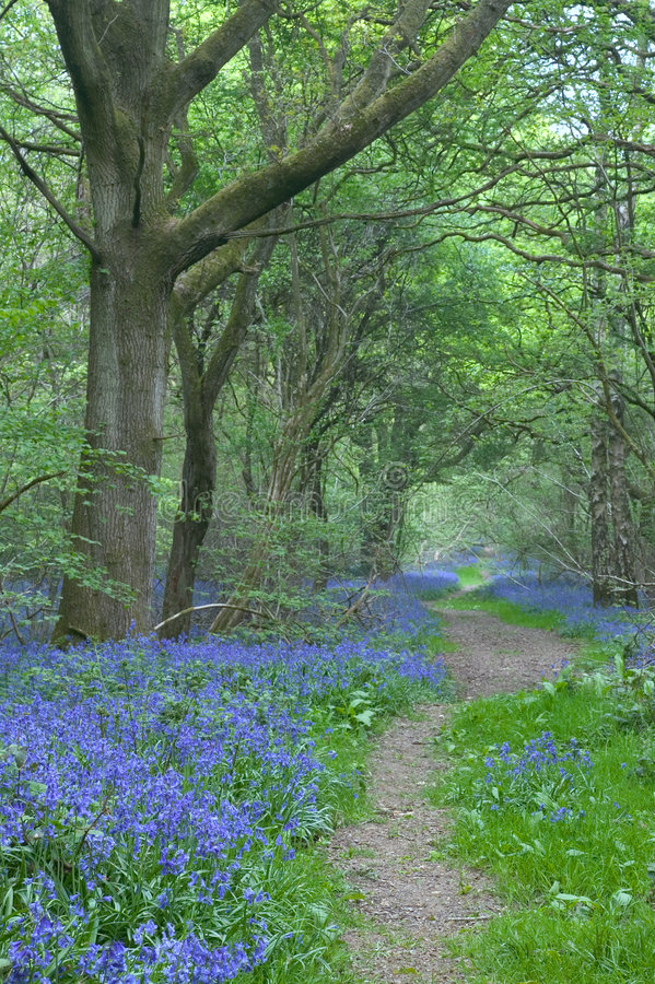 Path through bluebells stock image