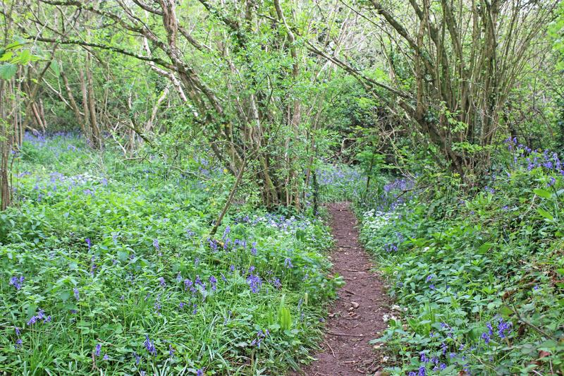 Path through bluebells in a wood royalty free stock images