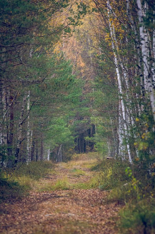 A path through a colorful autumn forest. A small path through a colorful autumn forest with pine and birch trees stock photography