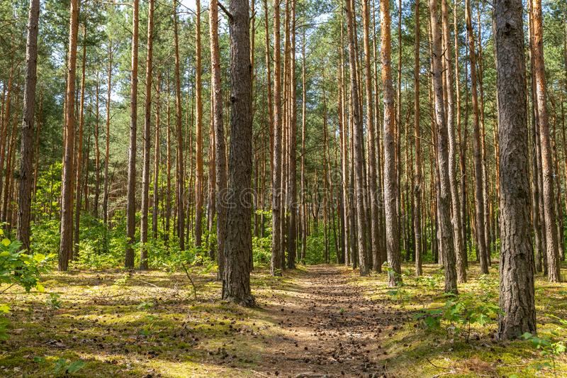 Path with cones. Pine forest. Summer landscapes. Holiday rest. Tourism in Europe. Poland, Mazovia stock photo