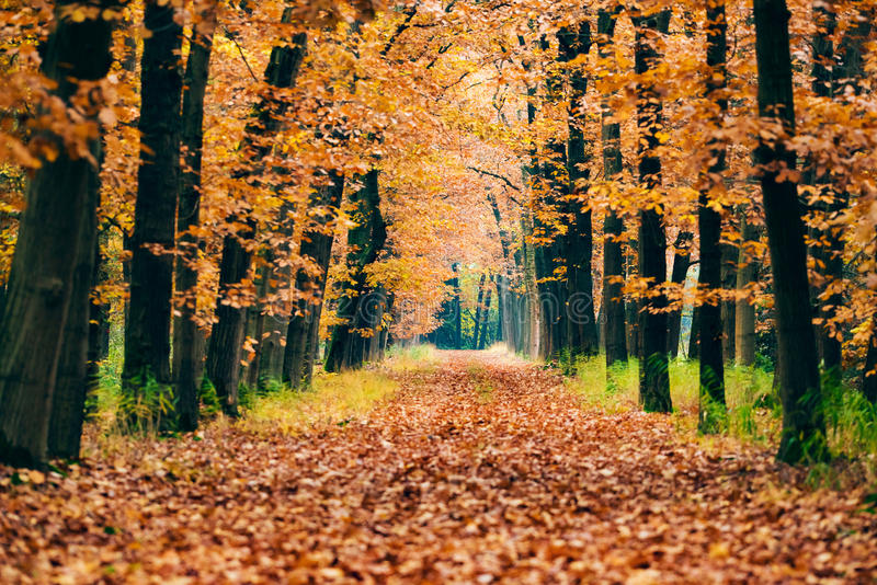 Path covered with leaves in autumn forest. Path covered with leaves in an autumn forest royalty free stock images