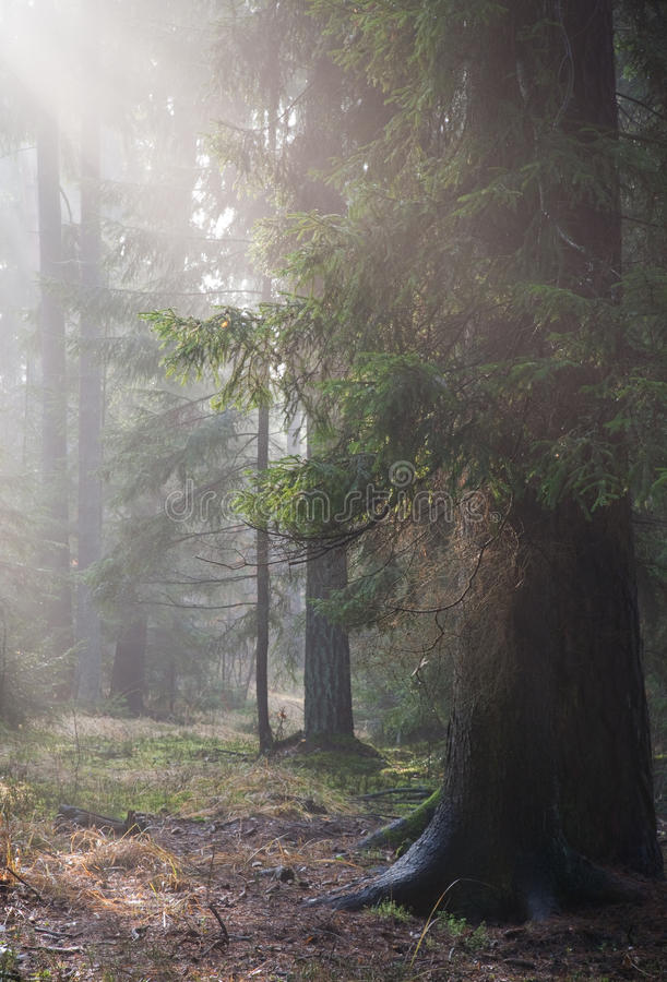 Path crossing autumnal misty forest. In morning stock image