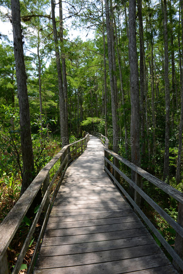 Path through cypress tress forest in Florida. View of a path through cypress tress forest in Florida royalty free stock images