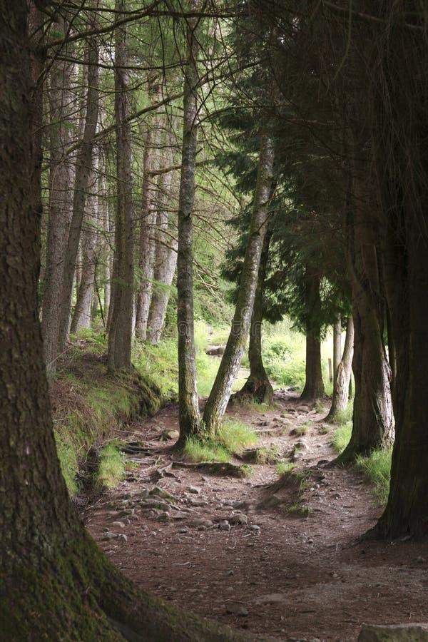 Path through dark forest. Walking path through dark pine forest royalty free stock images