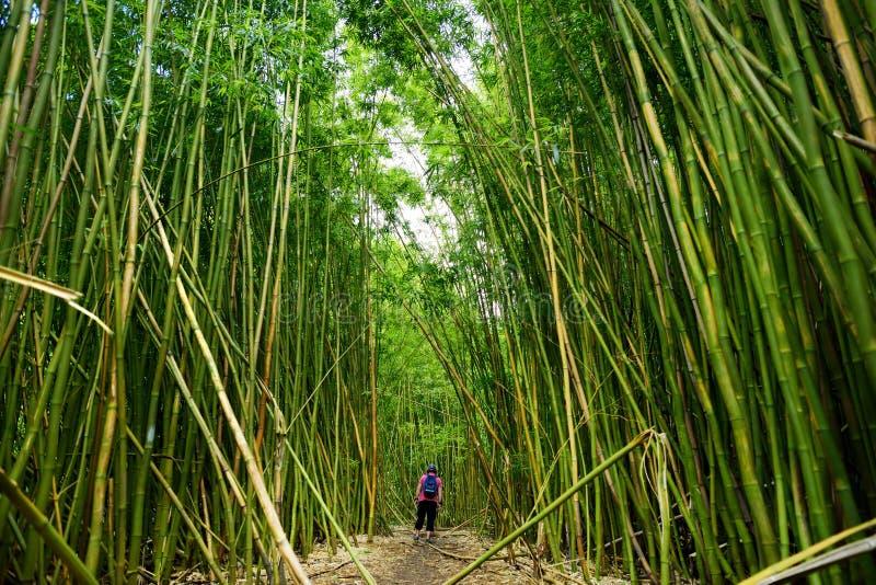 Path through dense bamboo forest, leading to famous Waimoku Falls. Popular Pipiwai trail in Haleakala National Park on Maui, Hawai. I, USA royalty free stock image
